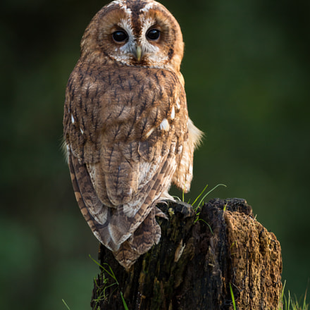 Tawny Owl, Canon EOS 5D MARK III, Canon EF 500mm f/4L IS