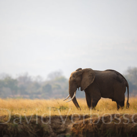 Elephant on banks of, Canon EOS 5D MARK III, Canon EF 400mm f/2.8L IS II USM