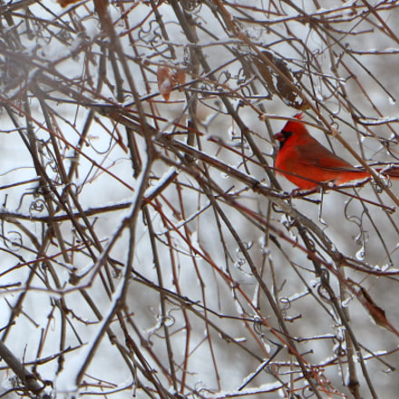 Northern Cardinal, Canon EOS REBEL T6S, Canon EF-S 18-135mm f/3.5-5.6 IS STM
