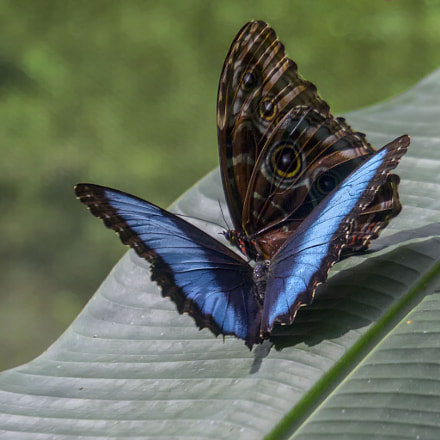 Blue Morphos, Canon EOS 5D MARK III, Canon EF 70-300mm f/4.5-5.6 DO IS USM