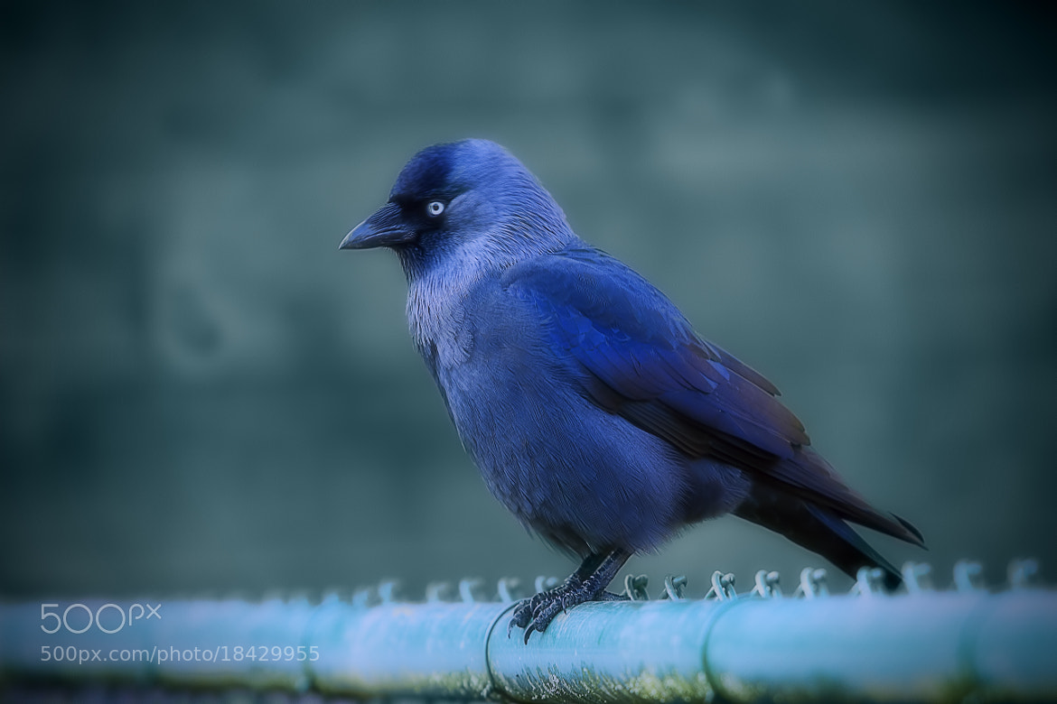 Photograph Jackdaw by Wim Bolsens on 500px