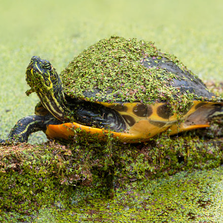 Florida red bellied cooter, Canon EOS 7D MARK II, Canon EF 500mm f/4L IS