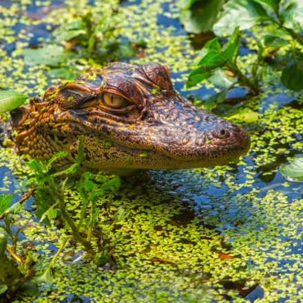 Baby alligator, Canon EOS-1D MARK IV, Canon EF 500mm f/4L IS