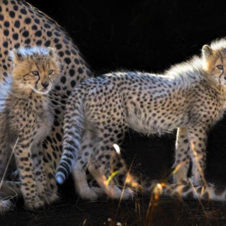 Baby Cheetahs, Canon EOS-1D X, Canon EF 600mm f/4.0L IS II USM