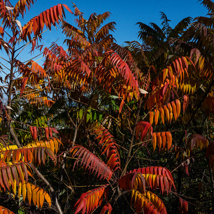 Bright Red Sumac, Panasonic DMC-GX7, LUMIX G 20/F1.7 II