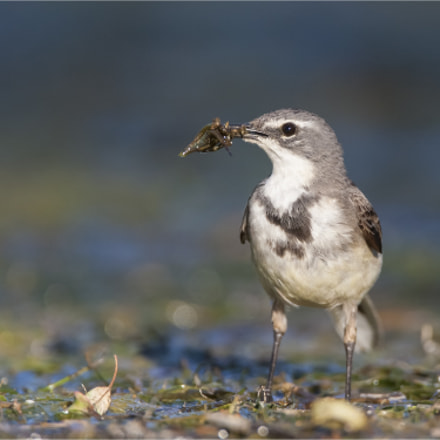 Wagtail with Catch, Canon EOS-1D MARK III, Canon EF 500mm f/4L IS