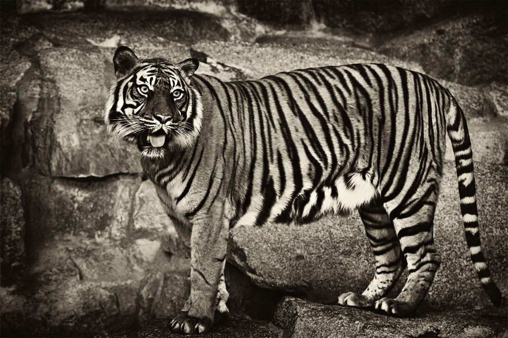 Photograph Tiger by Jan-Felix Müller on 500px