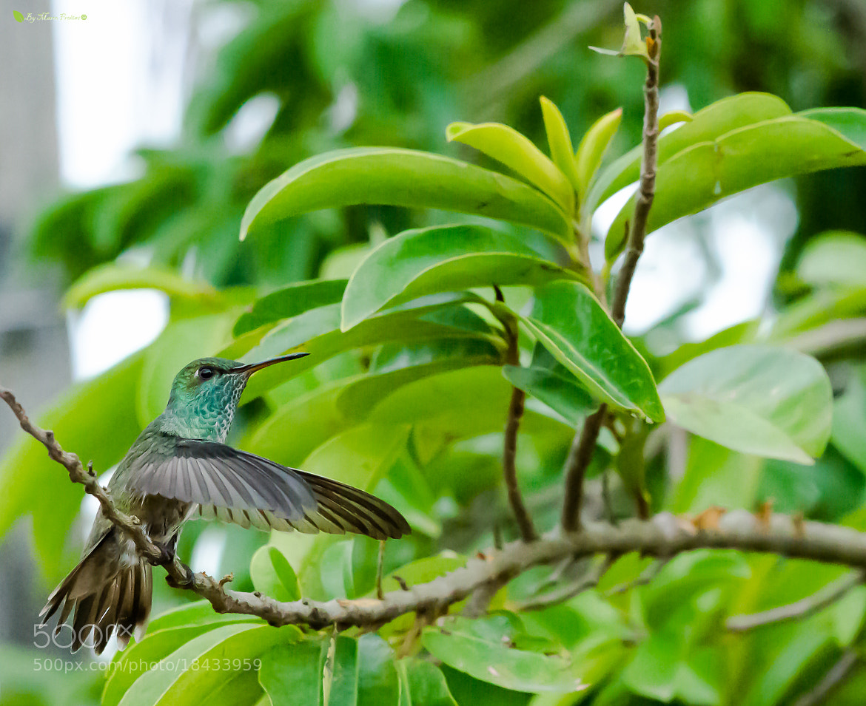 Photograph Hummingbird by Marco Freitas on 500px