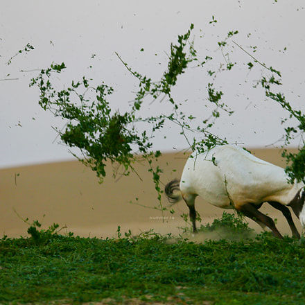 oryx, Canon EOS-1D C, Canon EF 100-400mm f/4.5-5.6L IS