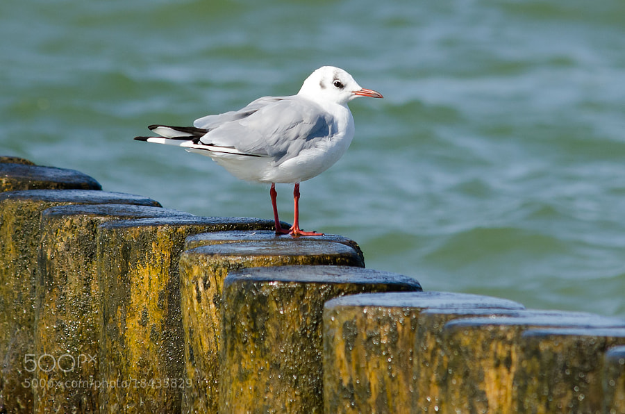 Photograph Seagull by Carsten Welzel on 500px