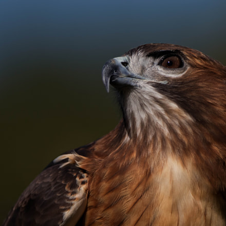 Pepe a red tailed, Canon EOS 80D, Canon EF 500mm f/4L IS