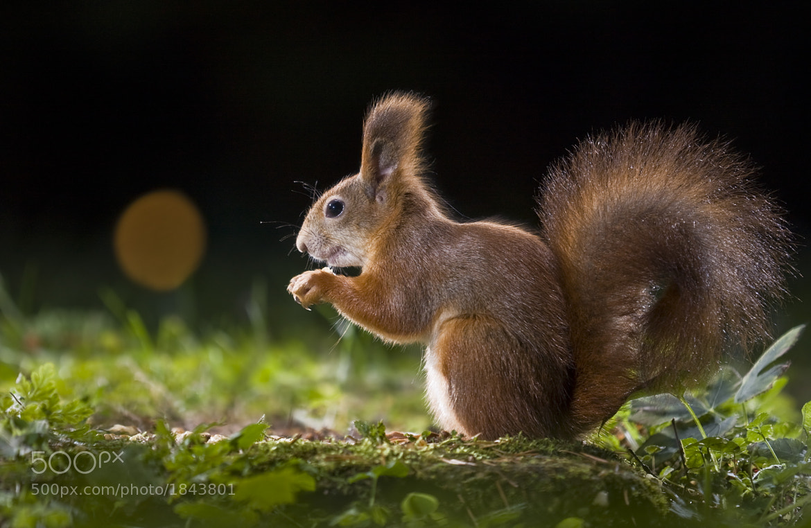 Photograph squirrel by Tibor Jakab on 500px