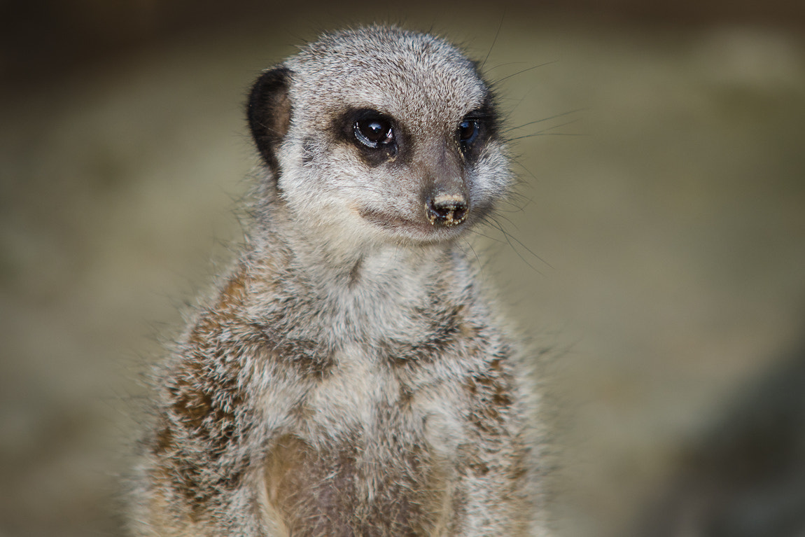 Photograph Meerkat by Carsten Welzel on 500px