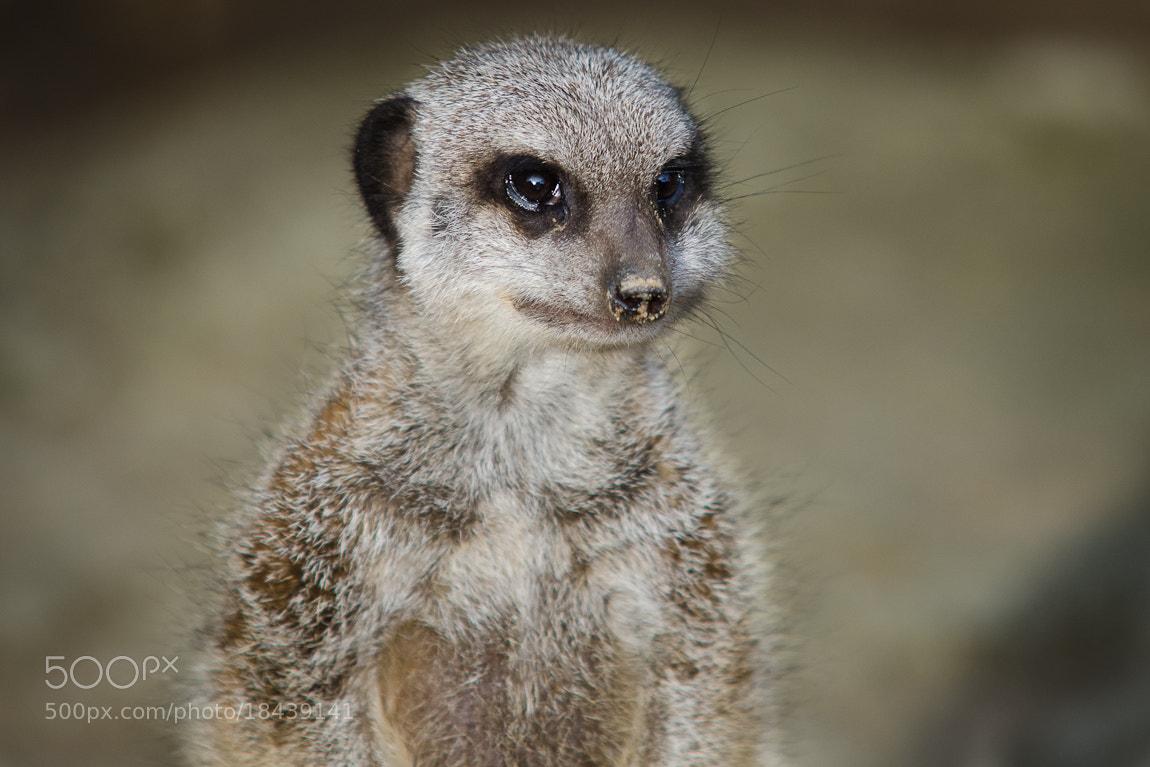 Photograph Meerkat by Carsten Welzel on 500px