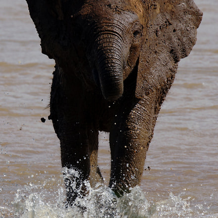 young elephant in water, Sony SLT-A77V, Tamron SP 150-600mm F5-6.3 Di USD