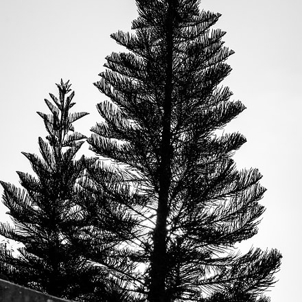 Pine over the roof, Sony SLT-A37, DT 18-55mm F3.5-5.6 SAM