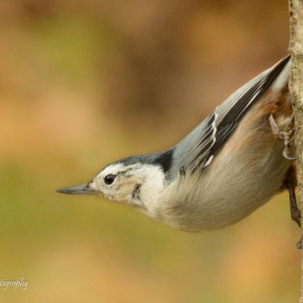 White-breasted Nuthatch, Canon EOS 70D, Sigma 150-500mm f/5-6.3 APO DG OS HSM