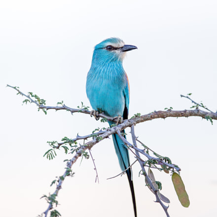 Abyssinian Roller, Canon EOS-1D X, Canon EF 400mm f/2.8L IS II USM