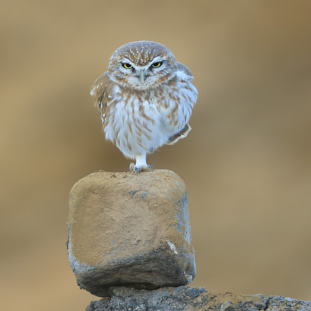 The little Owl, Canon EOS 5D MARK III, Canon EF 800mm f/5.6L IS