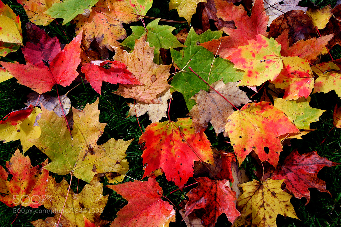 Photograph Dropped Leaves by Claudio Corradini on 500px