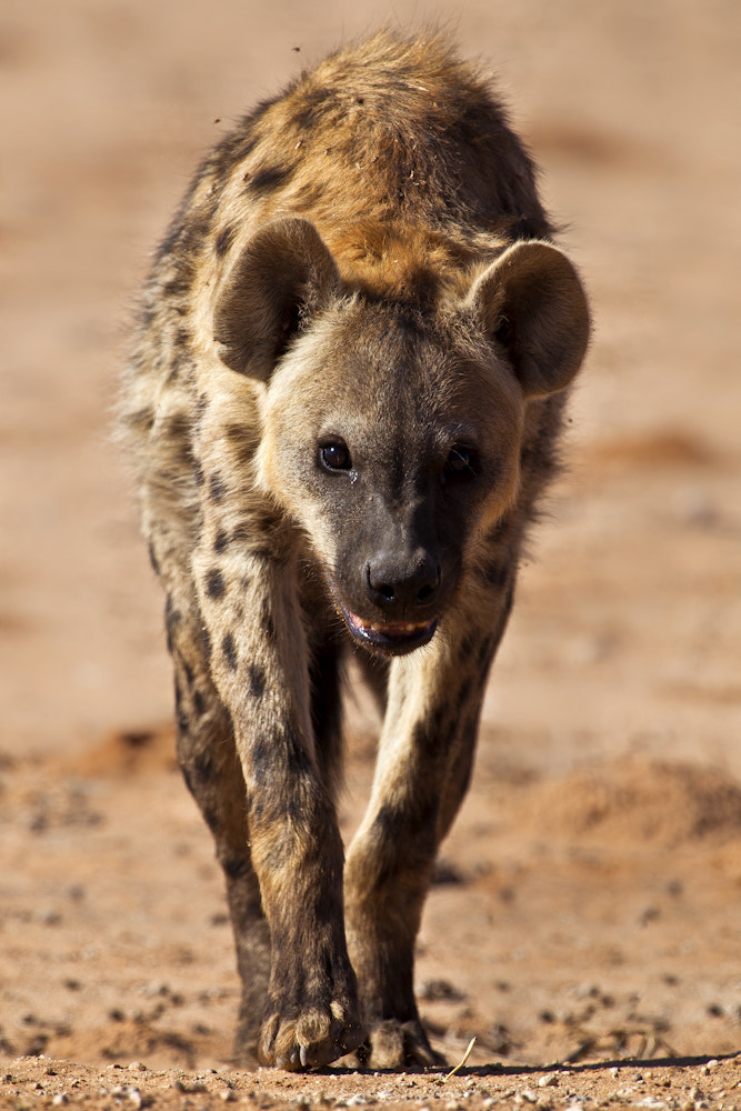 Photograph Hyena Approach by Mario Moreno on 500px