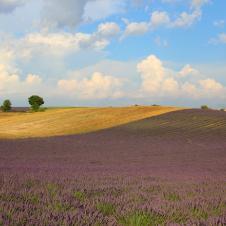 Field of Lavender in, Canon EOS 1200D, Canon EF 24-105mm f/3.5-5.6 IS STM