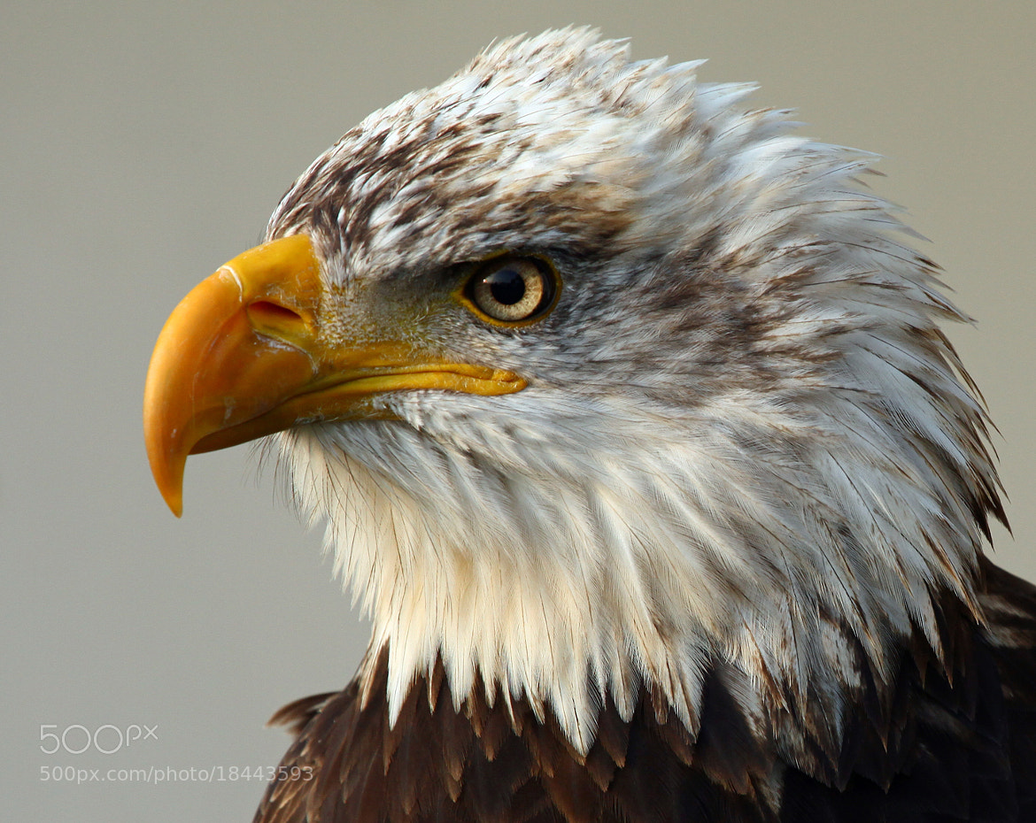 Photograph eagle eye by Andy Ingram on 500px