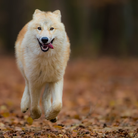 flying wolf.., Canon EOS-1D X MARK II, Canon EF 400mm f/2.8L IS II USM
