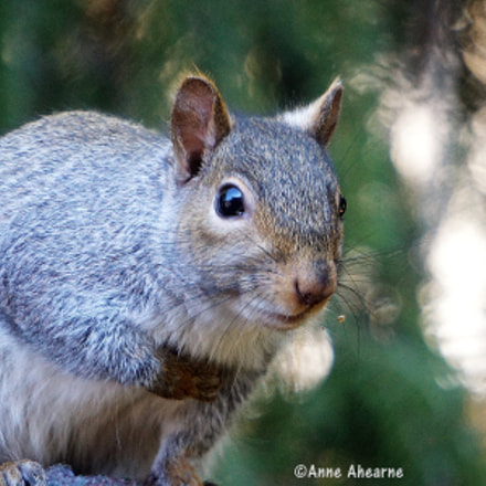 Eastern Gray Squirrel Close-up, Sony ILCE-6000, Sony E 55-210mm F4.5-6.3 OSS