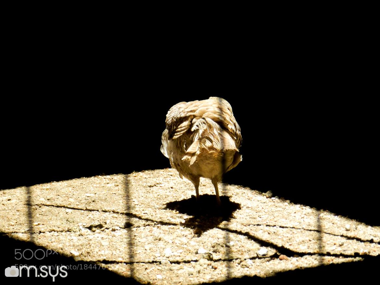 Photograph Galinha solitária by Mauro Clemente on 500px