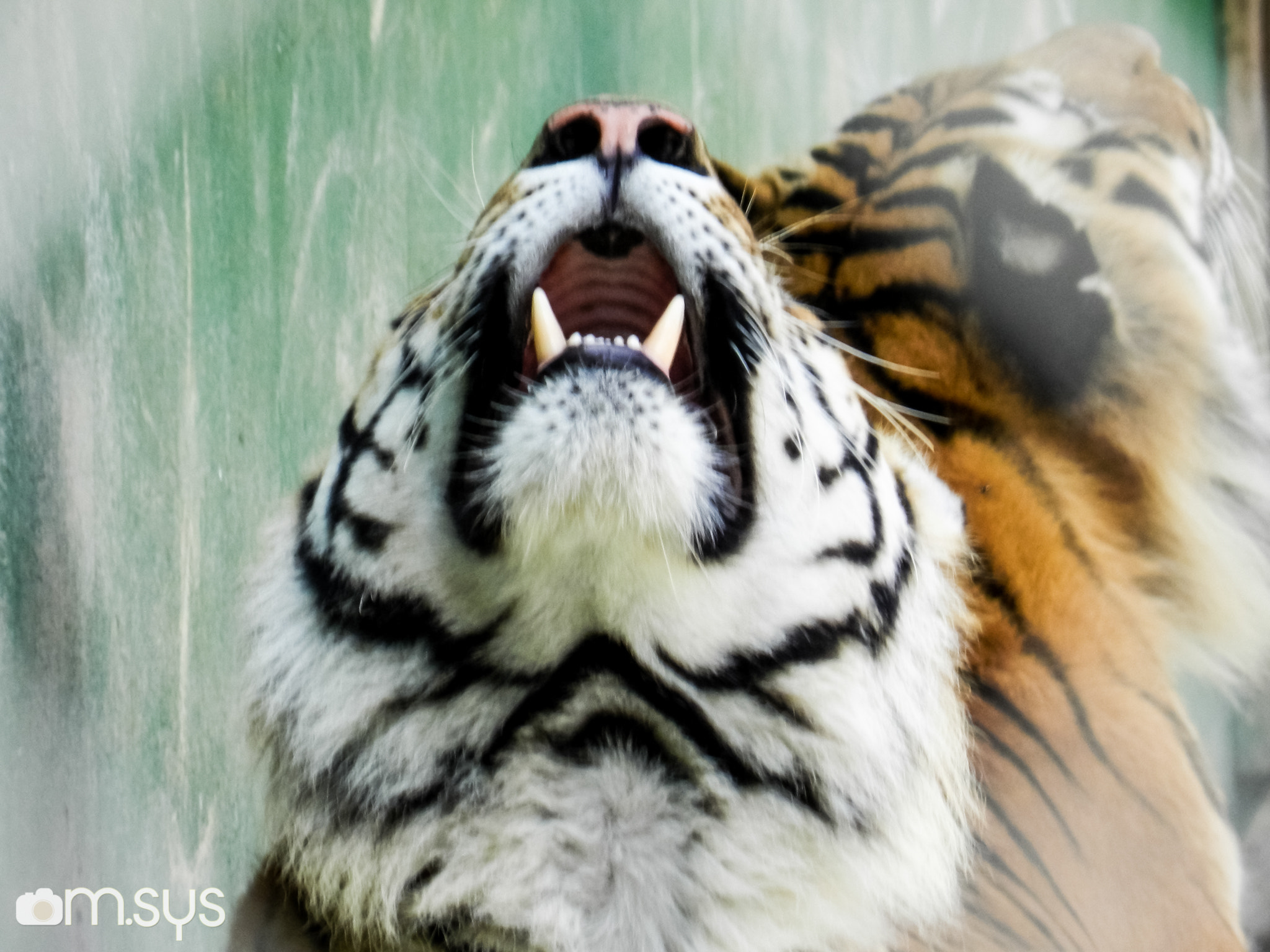 Photograph Tigre uivando by Mauro Clemente on 500px