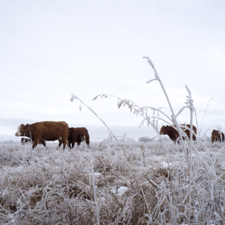Cows in the frost, Sony NEX-F3, E 18-55mm F3.5-5.6 OSS