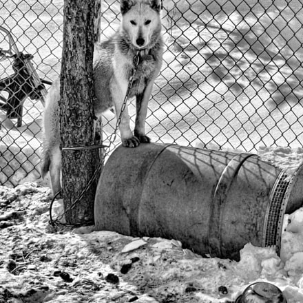 Monochrome sled dog, Panasonic DMC-LC50