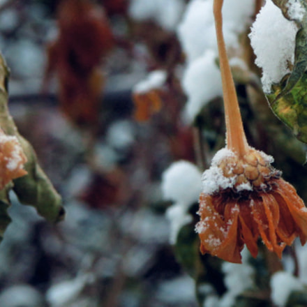 flowers under the snow, Canon POWERSHOT SX500 IS