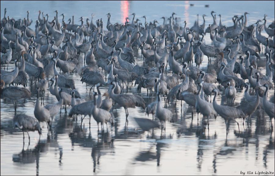 Morning cranes №22
