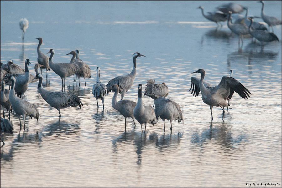 Morning cranes №23