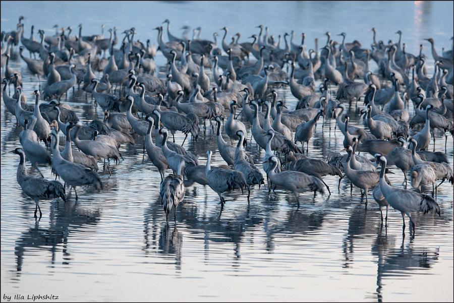 Morning cranes №24