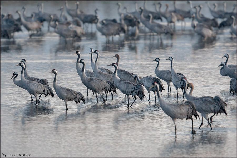 Morning cranes №25