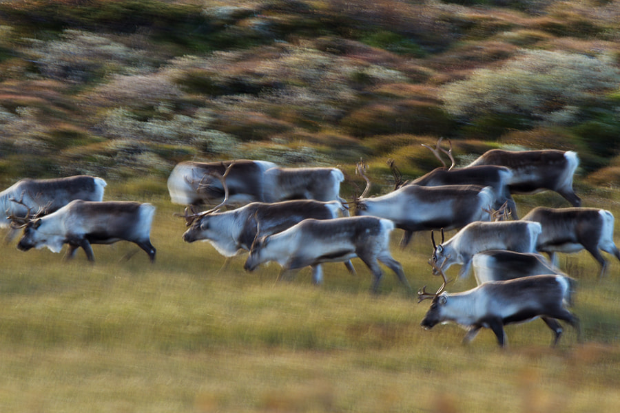 Photograph Wild reindeer on the move. by Marc Graf on 500px