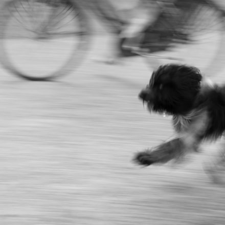 a running dog, Canon EOS 7D MARK II, Canon EF 50mm f/1.2L