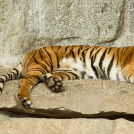 Chilling Tiger, Canon EOS 60D, Canon EF 70-300mm f/4-5.6 IS USM
