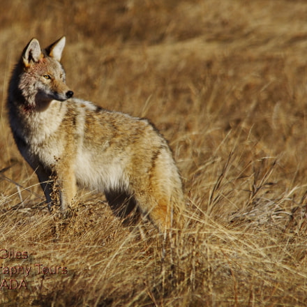 Early Morning Coyote, Pentax K-5 II S, Sigma 150-500mm F5-6.3 APO DG OS HSM