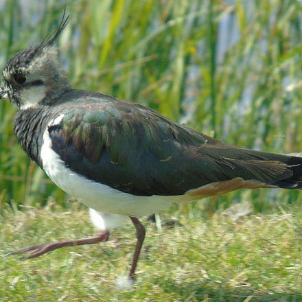 lapwing on the march, Sony DSC-H400