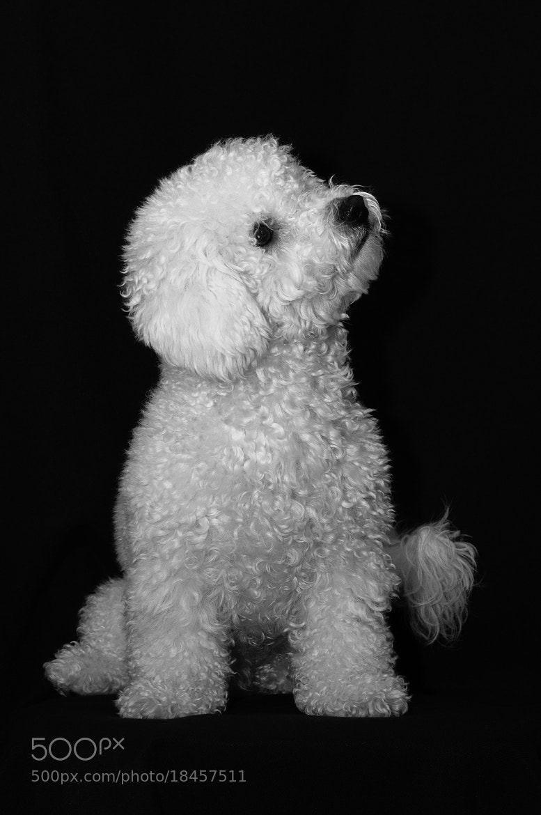 Photograph My Bichon by Stefano Boschi on 500px