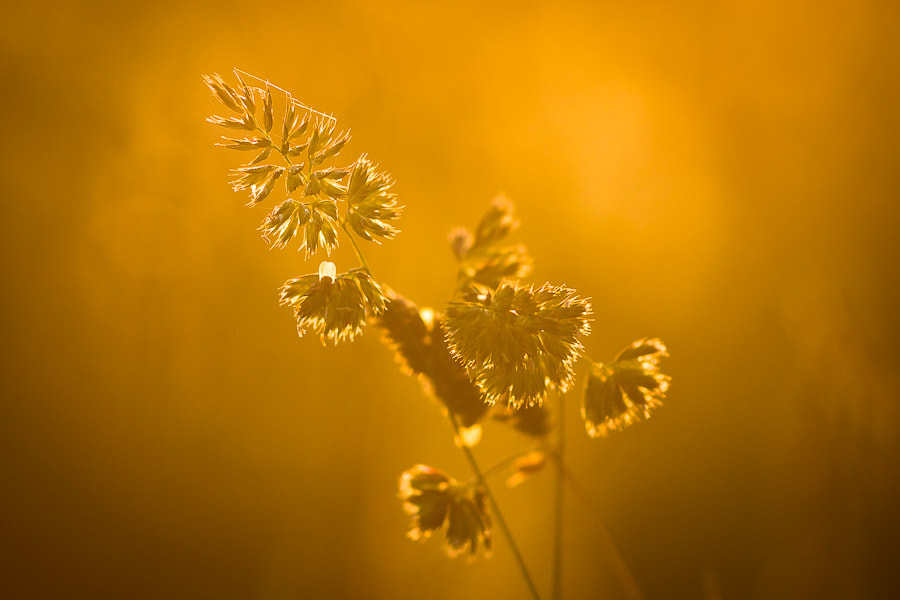 Photograph grass in golden light by Benjamin Egermann on 500px