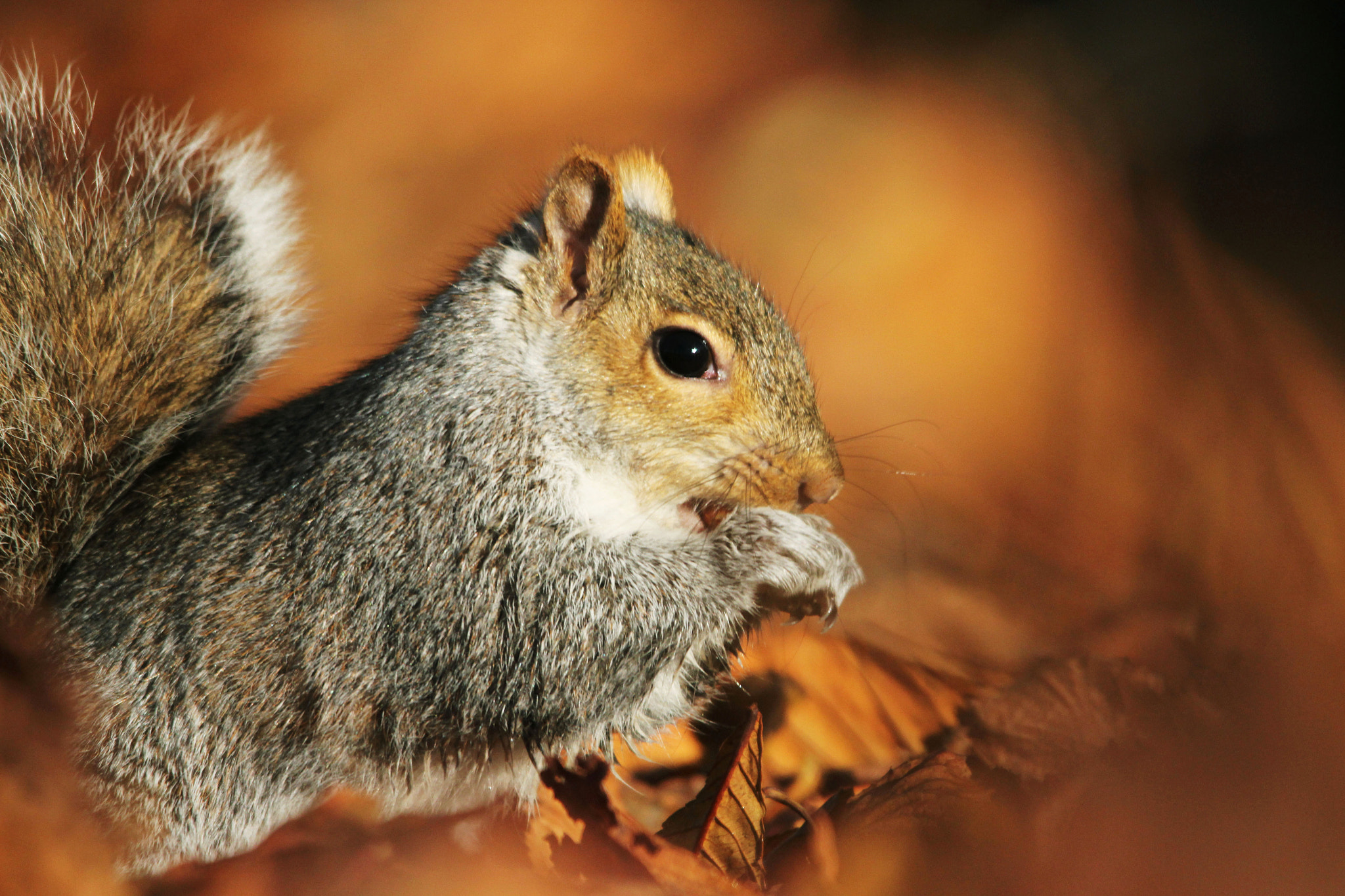 Photograph Grey squirrel  by Arnie Monteith on 500px