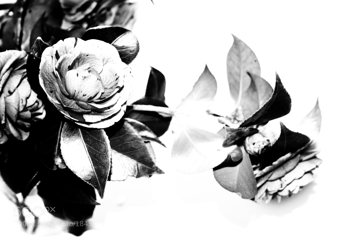 Photograph rose black and white by antonio biancardi on 500px