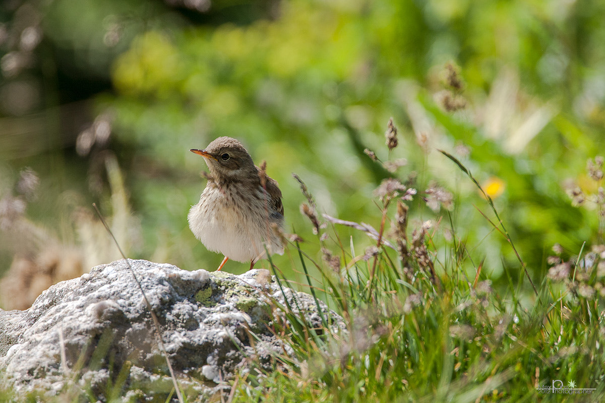 Photograph water pipit juv. by Massimo Dadone on 500px