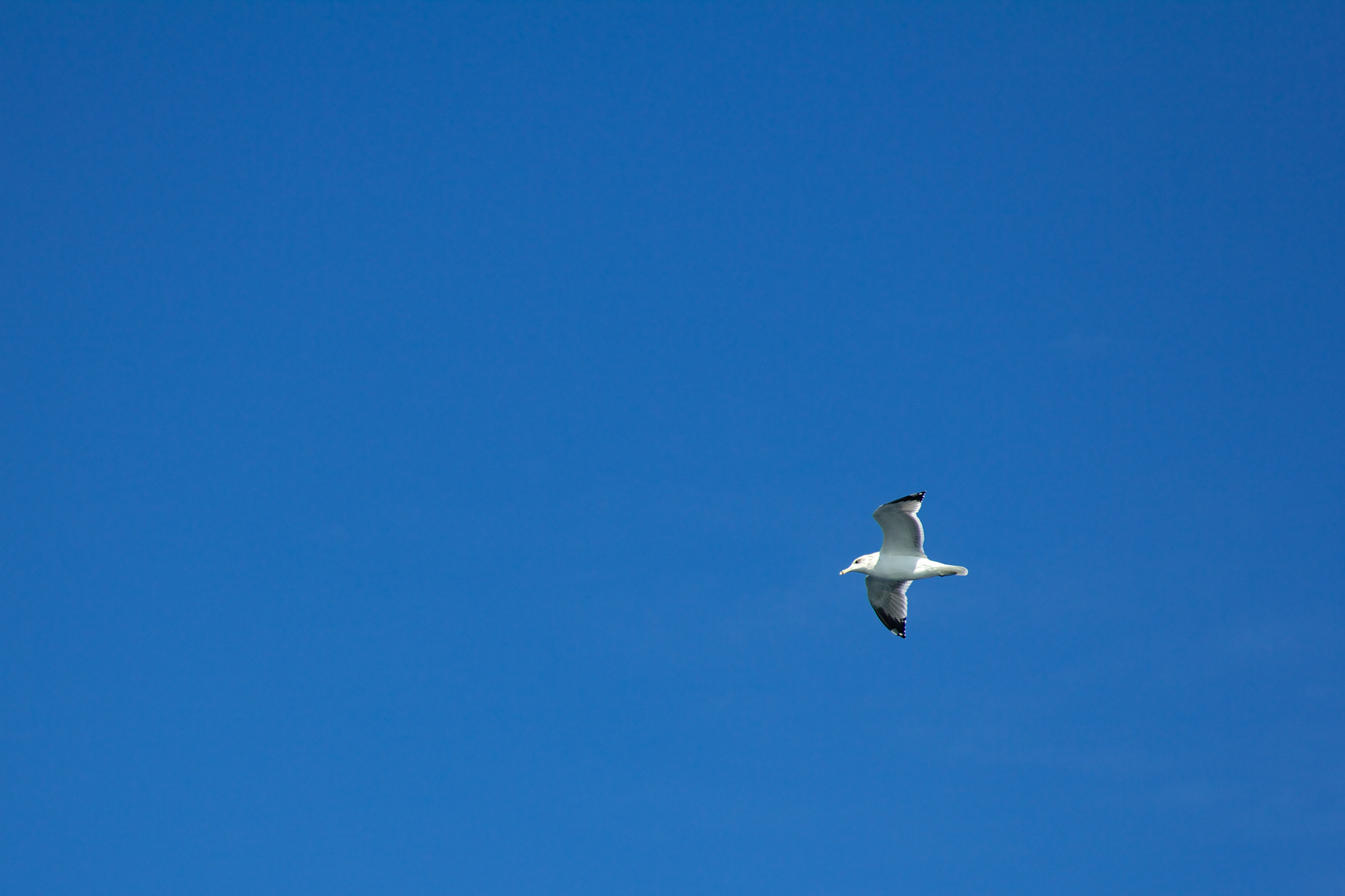 Photograph Seagull flying by Tomas Lampo on 500px