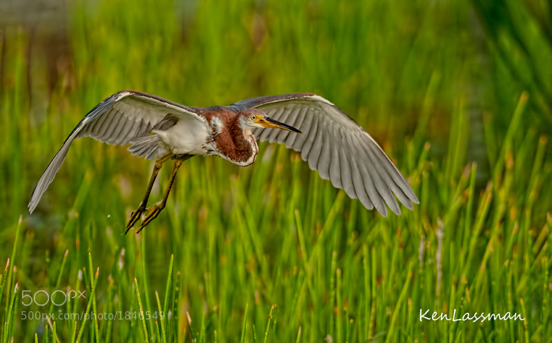 Photograph Juvenile Tricolored heron by Ken  Lassman on 500px